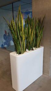 Location de plantes Sanssevieria pour agrémenter vos bureaux et espaces de travail